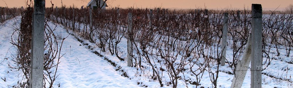 winter-vineyard
