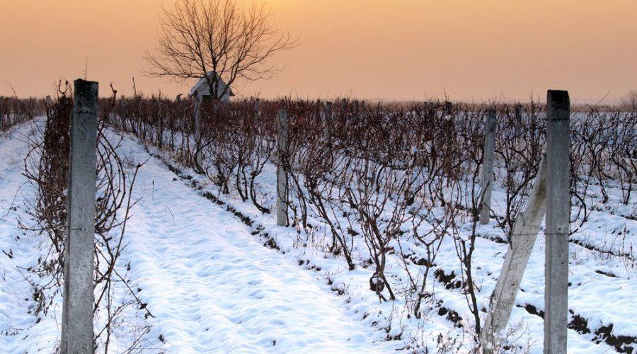 winter-vineyard