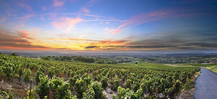 Panorama of vineyards at sunrise time, Beaujolais, Rhone, France