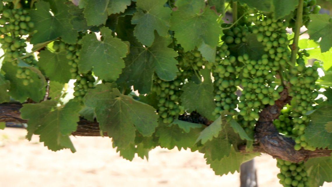 Syrah Grapes on vines, Larner Vineyard, Ballard canyon