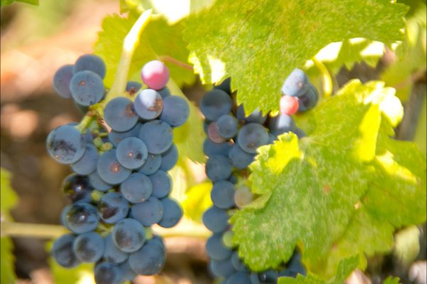 Syrah-Grapes