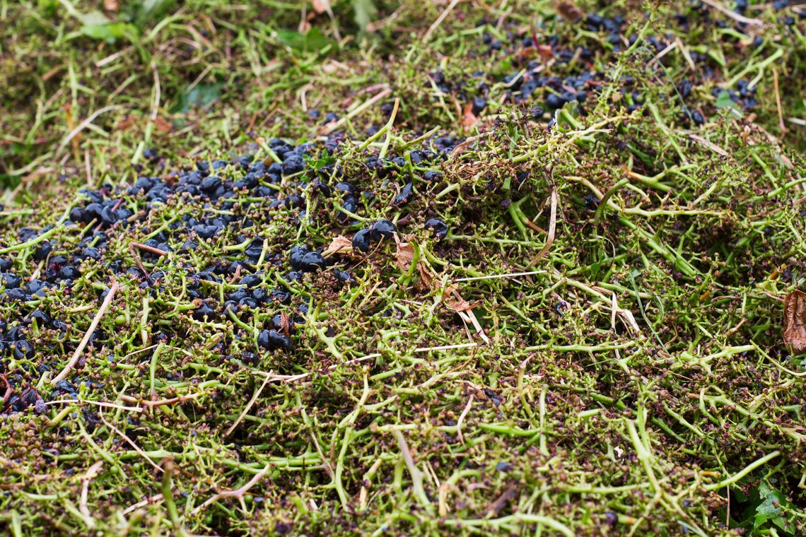 merlot grapes stems