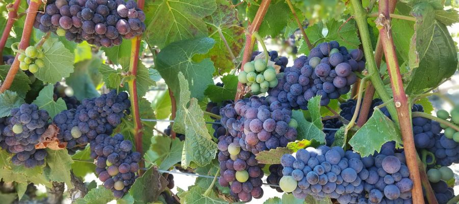 Balletto Vineyards in the Russian River Valley