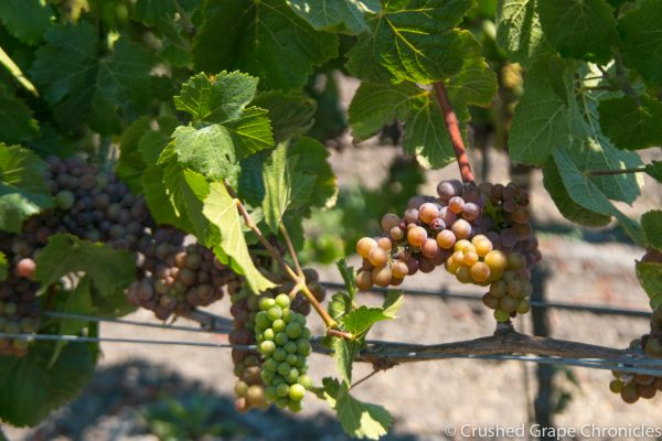 Balletto Vineyard, Grapes in Veraison