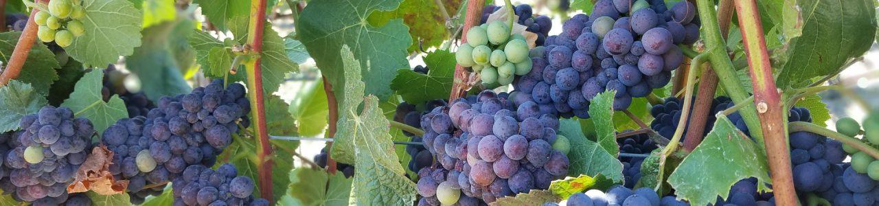 Balletto Vineyard, Pinot Noir