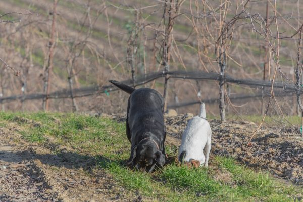 Sadie and a friend in the vineyard at Riverbench. (Photo courtesy of Riverbench Vineyard & Winery)
