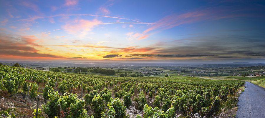 Panorama of vineyards at sunrise Beaujolais France