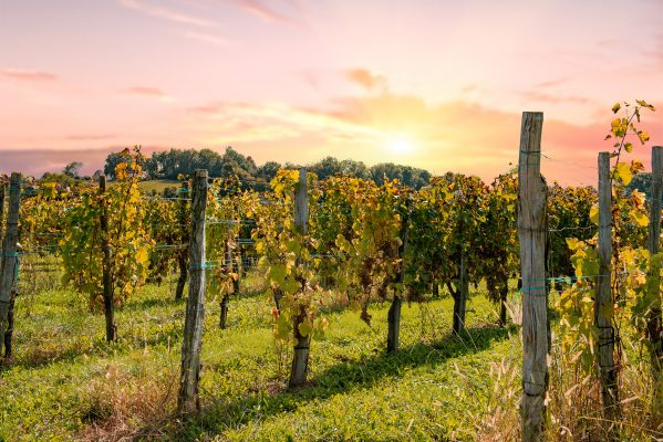 vineyard of Juran Conin France at sunset