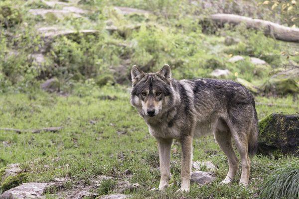Eurasianwolf GraywolfCanislupuslupusinthewildSainte CroixFrance 1920