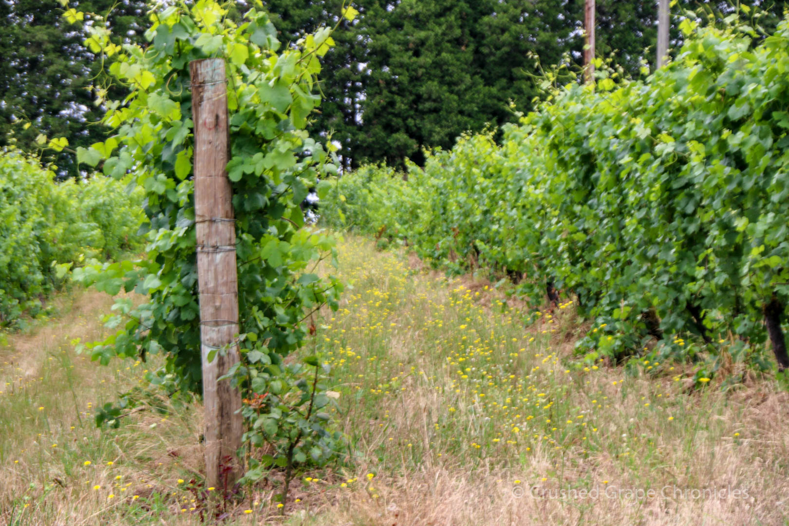Montinore Vineyards vineyard 2294