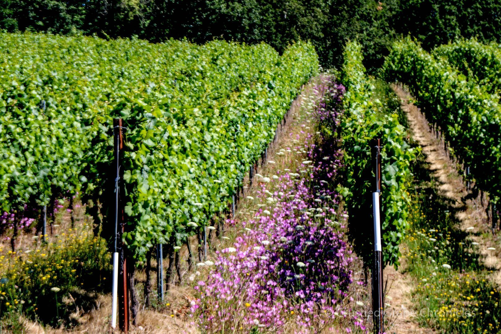 Illahe Vineyard flowers