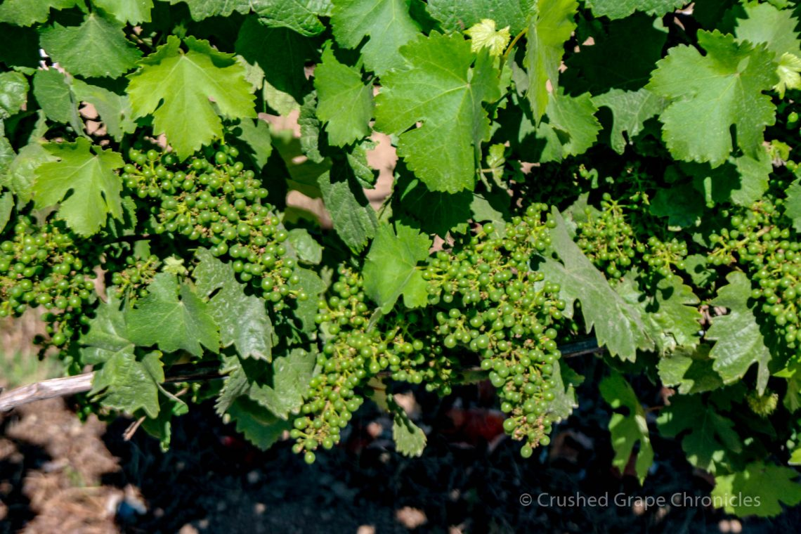 Illahe Vineyard grapes
