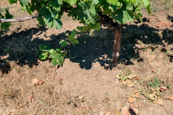 Illahe Vineyard grapes & Soil