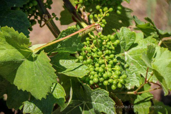 Illahe Vineyard grapes