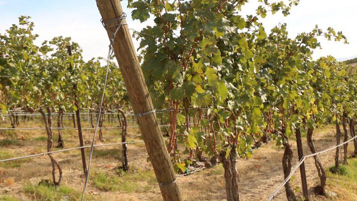 Owen Roe Winery, Yakima Valley, Field View
