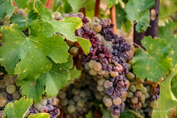 Owen Roe Winery Grapes
