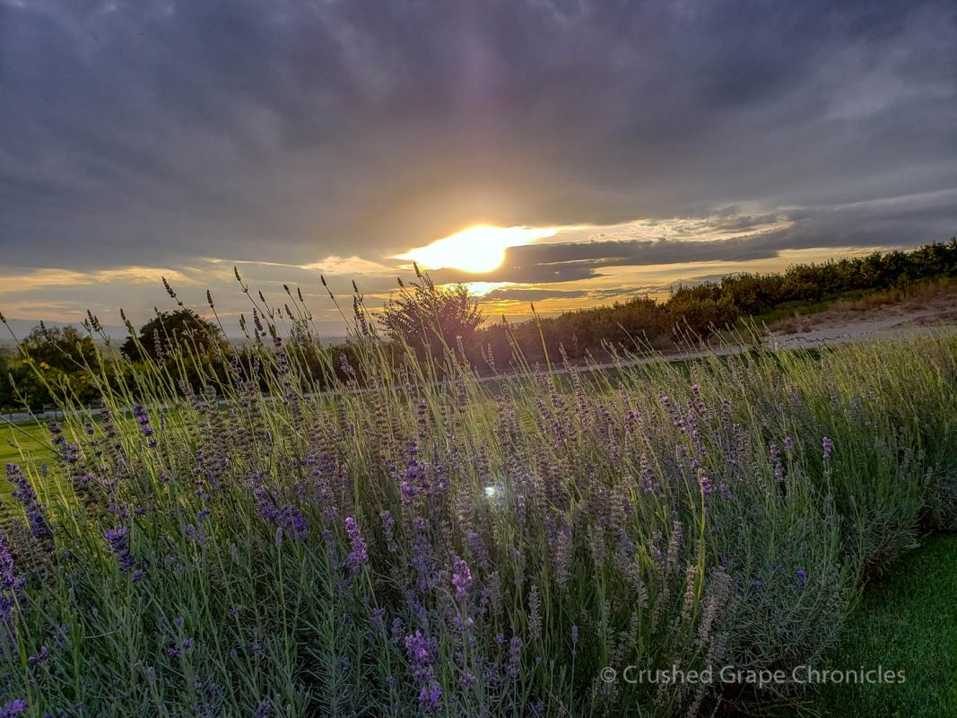 Lavender and Sunset at Owen Roe Winery in Yakima Valley
