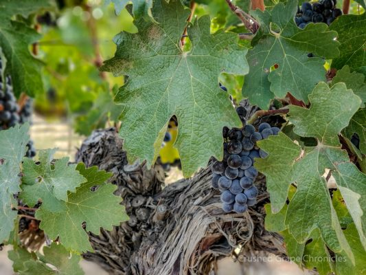 Elephant Mountain Vineyard grape glamour shot