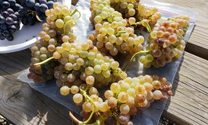 Roussanne grapes at Elephant Mountain Vineyard
