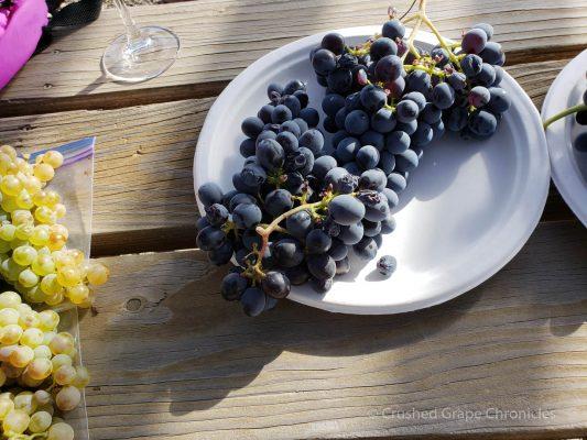 Cinsault grapes at Elephant Mountain Vineyard
