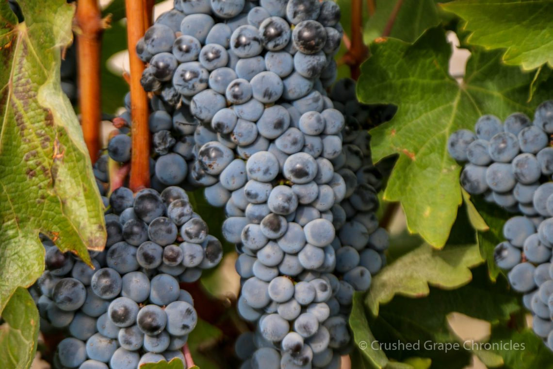 Elephant Mountain Vineyard grapes at harvest