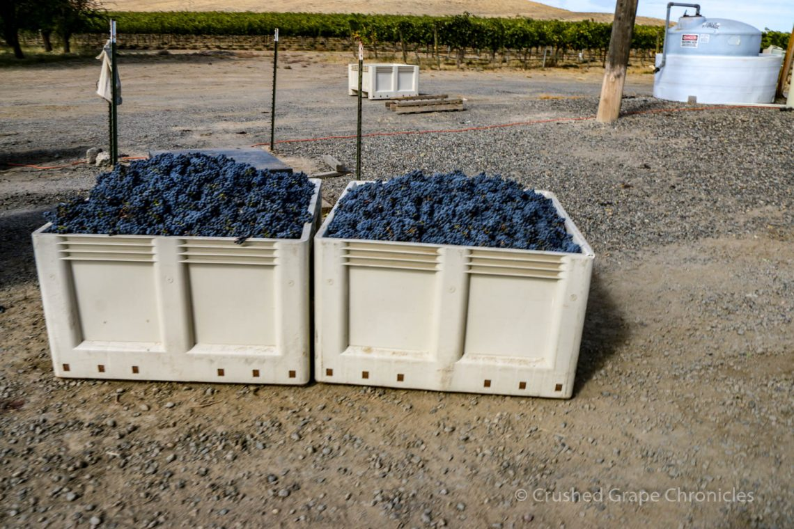 Bins of harvested grapes at Elephant Mountain Vineyard.