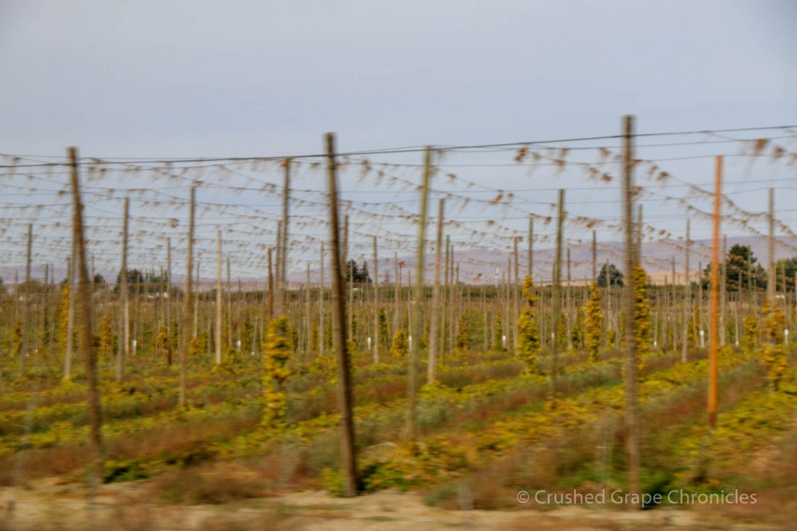 Hops Growing In Yakima Valley
