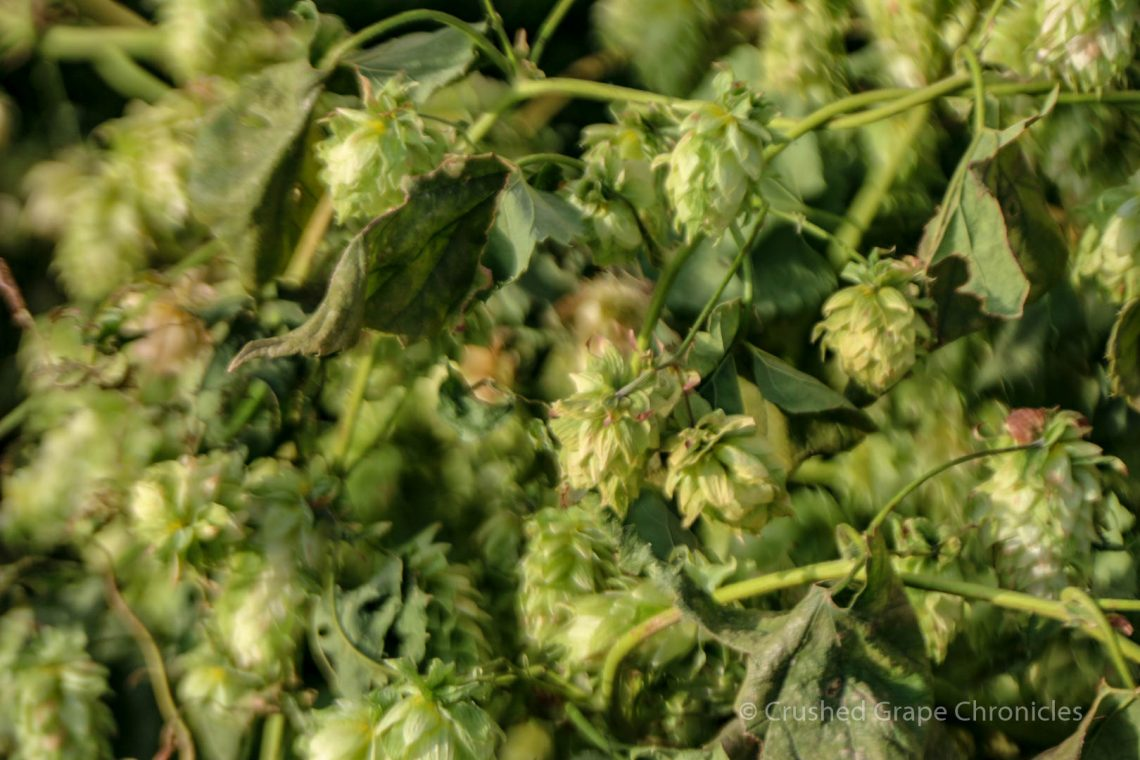 Hopsteiner Talk with Nicholi Pitra at Yakima Valley Flavor Camp, a view of Hops on the Vine