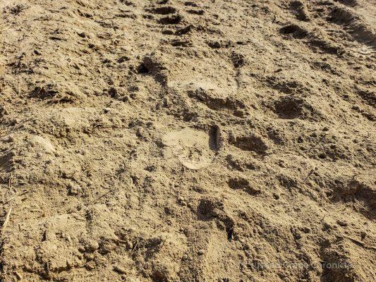Loess soil at Owen Roe's Union Gap Vineyard.