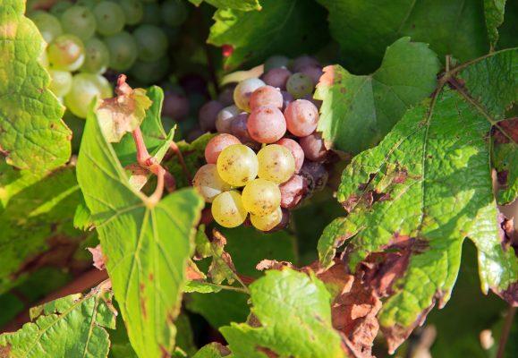 Chardonnay in Chablis