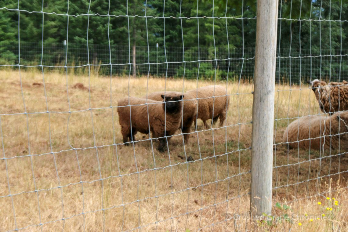 Beckham Vineyard Lawn mowing sheep 3216