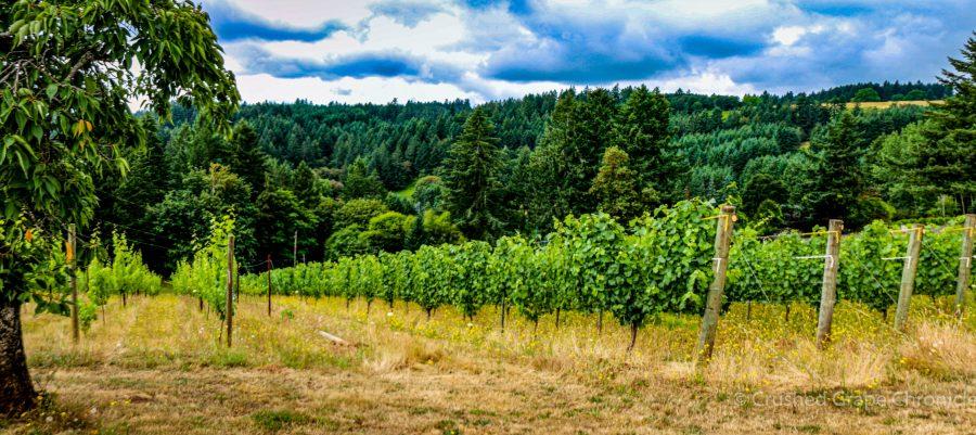 Beckham Estate Vineyard Panorama