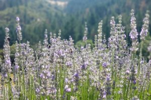 Lavender at Cowhorn supporting pollinators and biodyversity