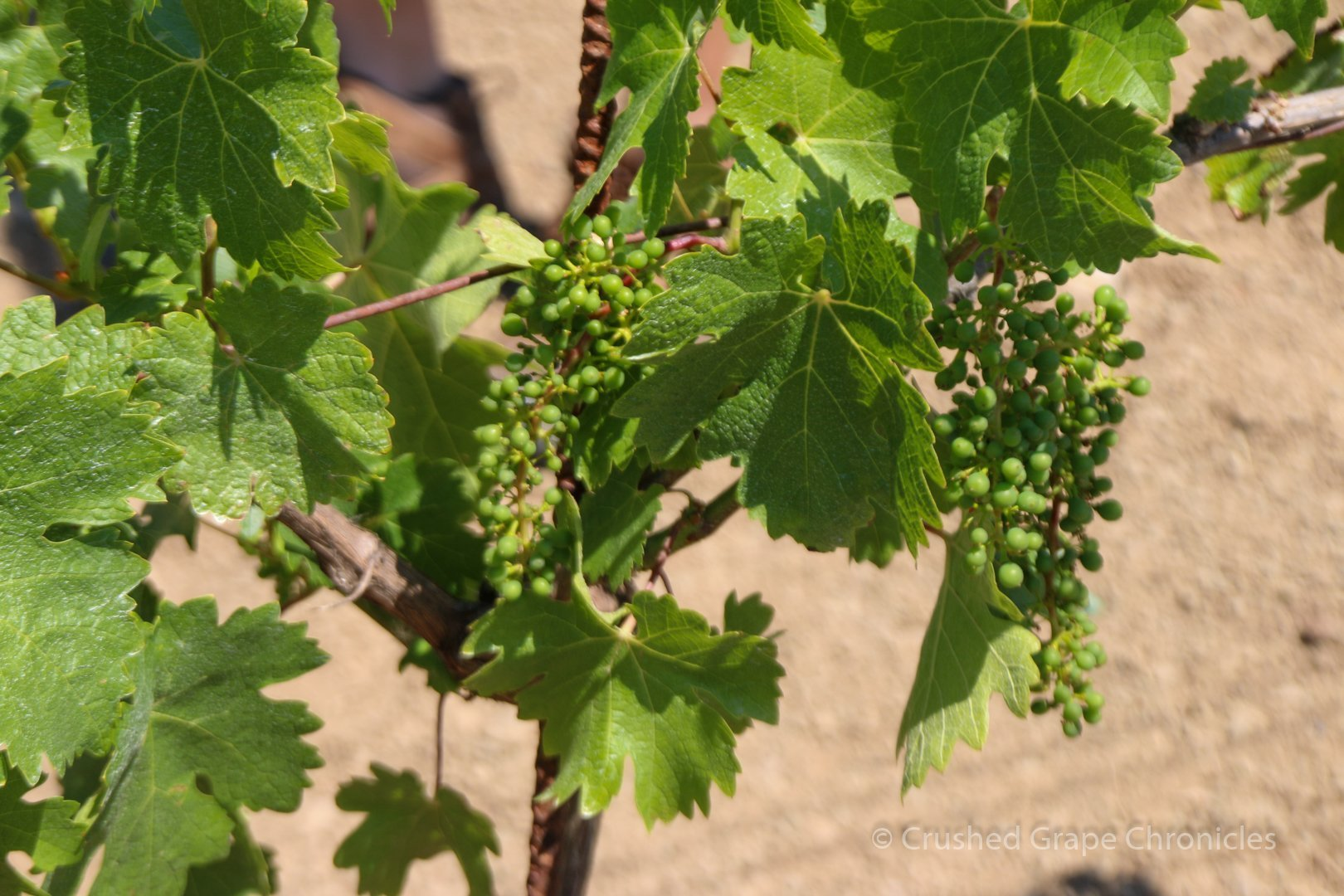 Grapes at Girardet