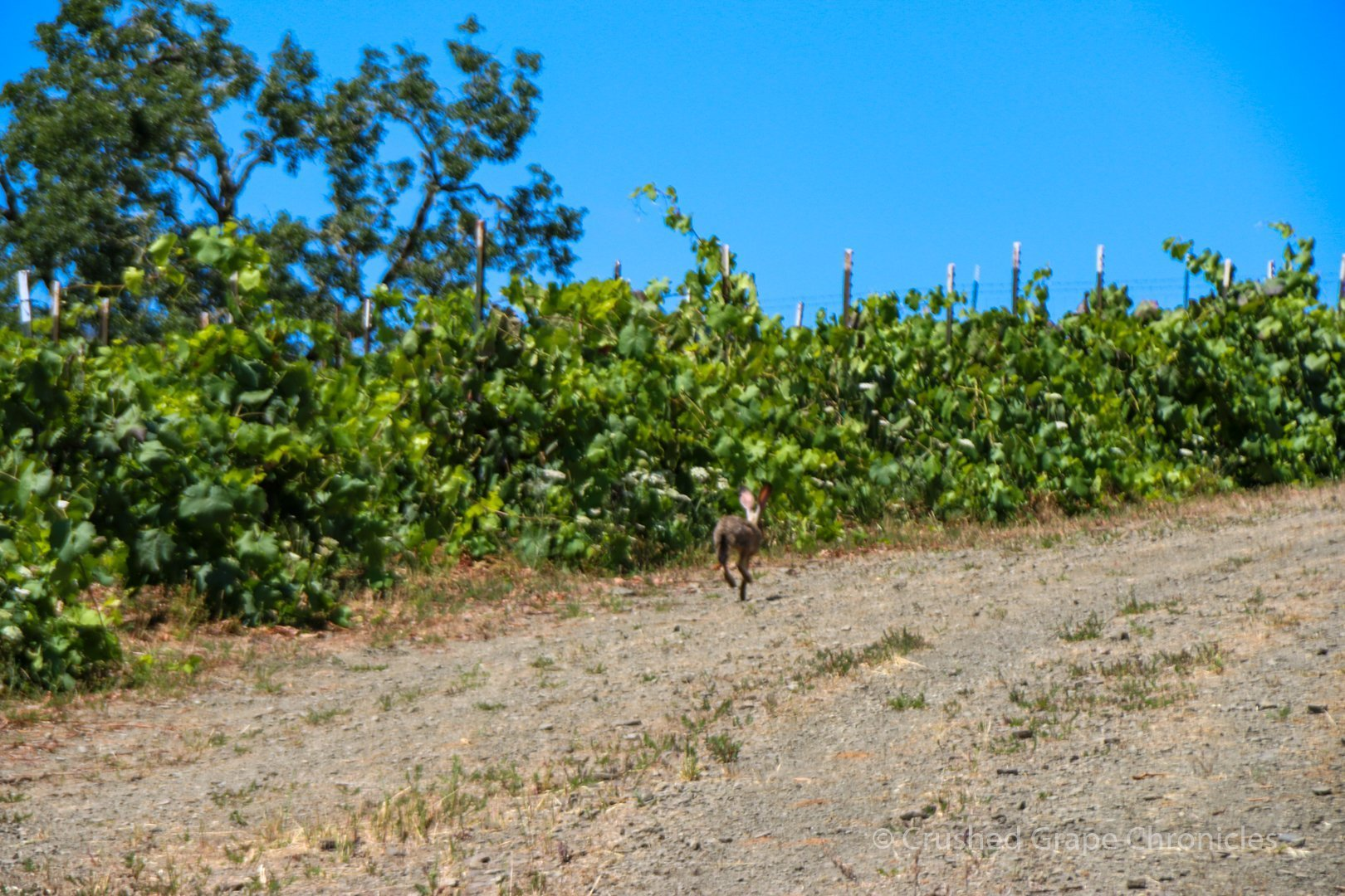 Jack rabbits at the Girardet Vineyard