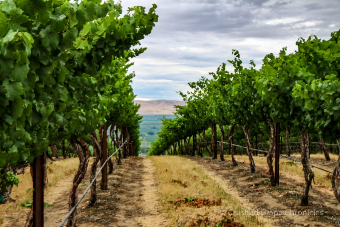 Vines at Hedges Family Estate in Yakima Valley's Red Mountain AVA
