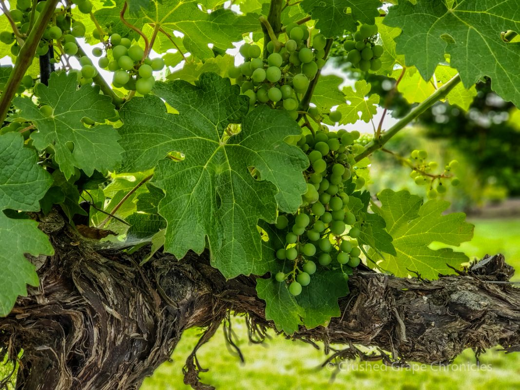 Grapes at Hedges Family Estate in Washington's Red Mountain AVA