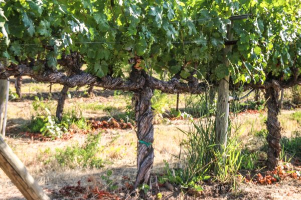 Old vines at Red Willow Vineyard