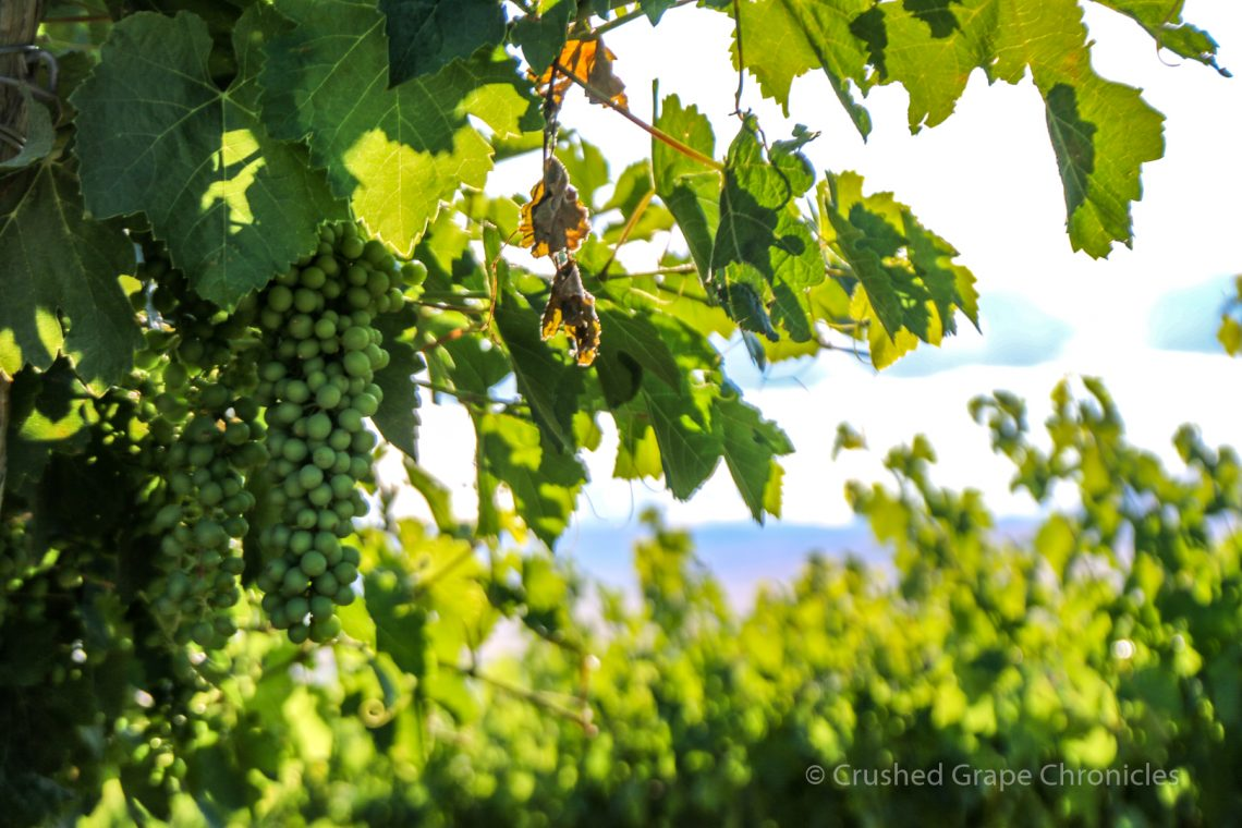 Grapes at Red Willow Vineyard in Washington's Yakima Valley