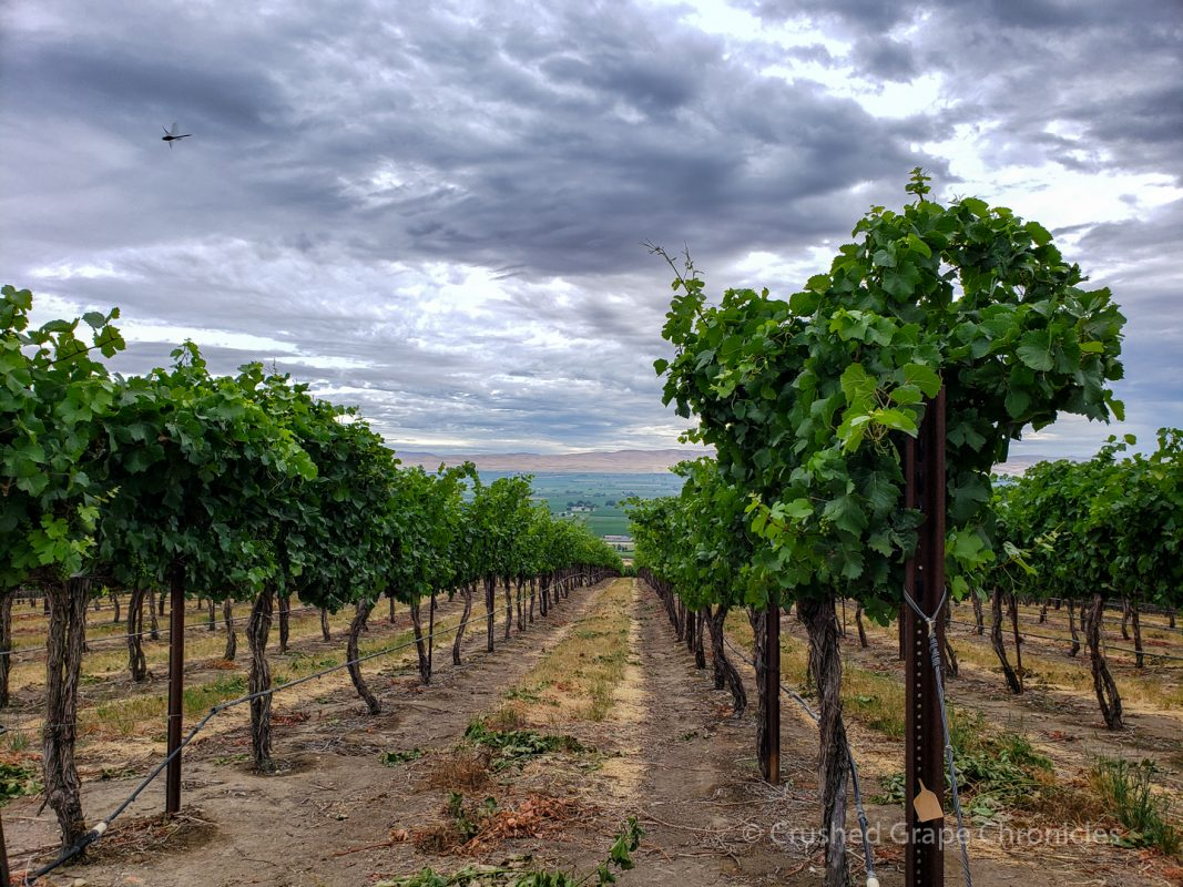 Vines on the top of Snipes Mountain at Roskamp Vineyard in Washington's Yakima Valley