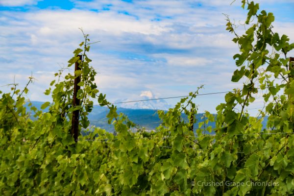 View of Mt. Hood from Syncline Vineyard in Washington's Columbia Gorge AVA
