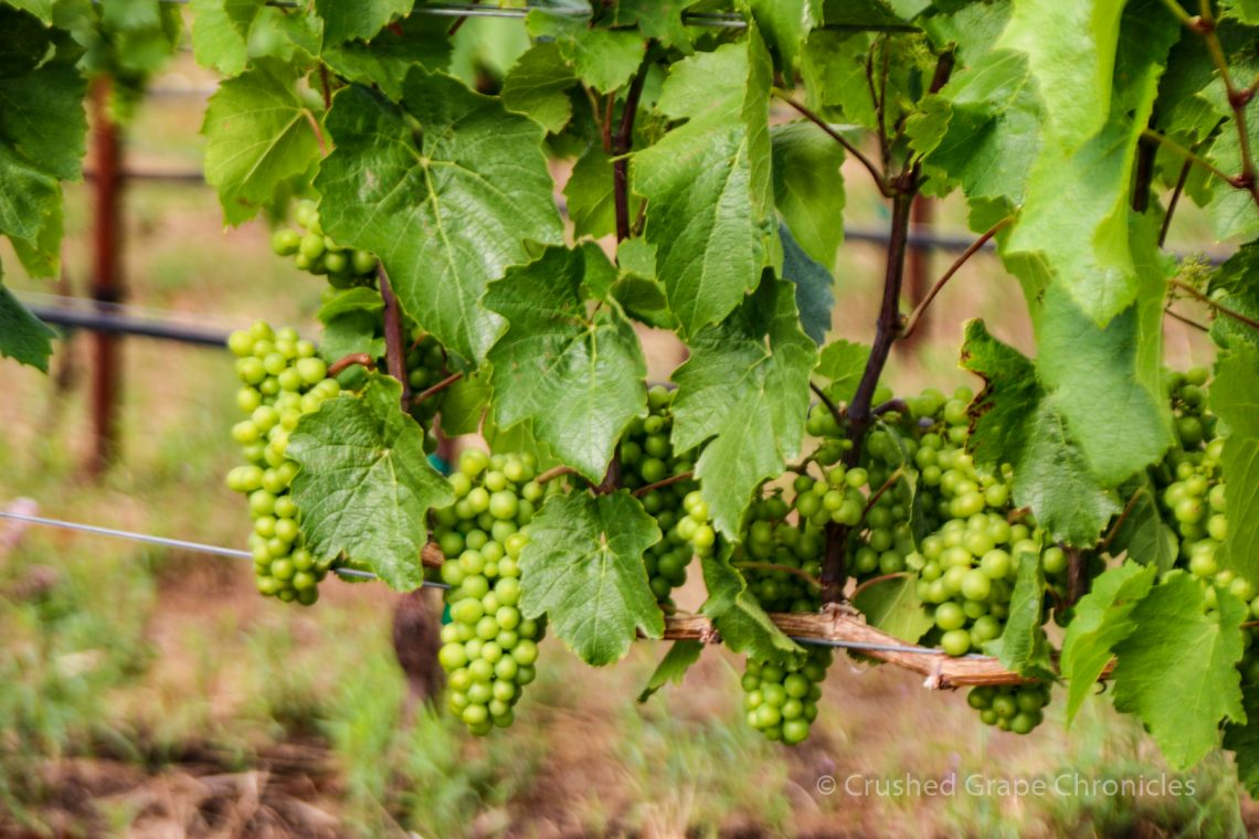 Grapes at Syncline making great Washington Wine