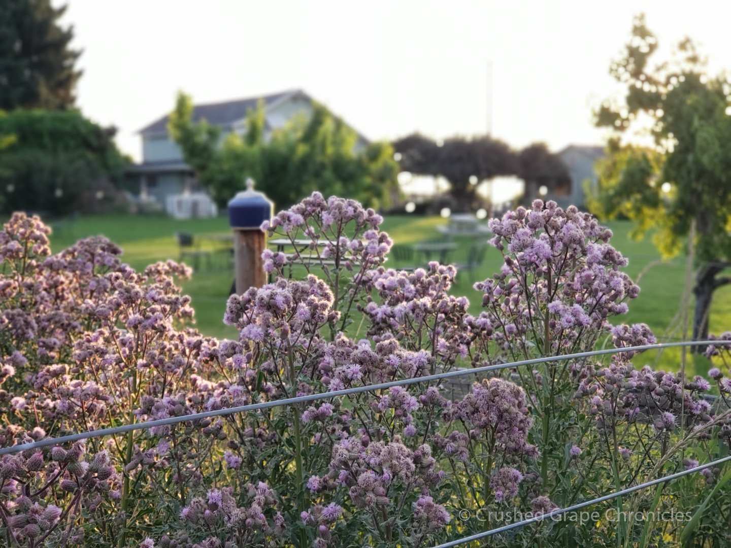 Flowers and farmhouse at Wilridge Vineyard, Naches Heights AVA