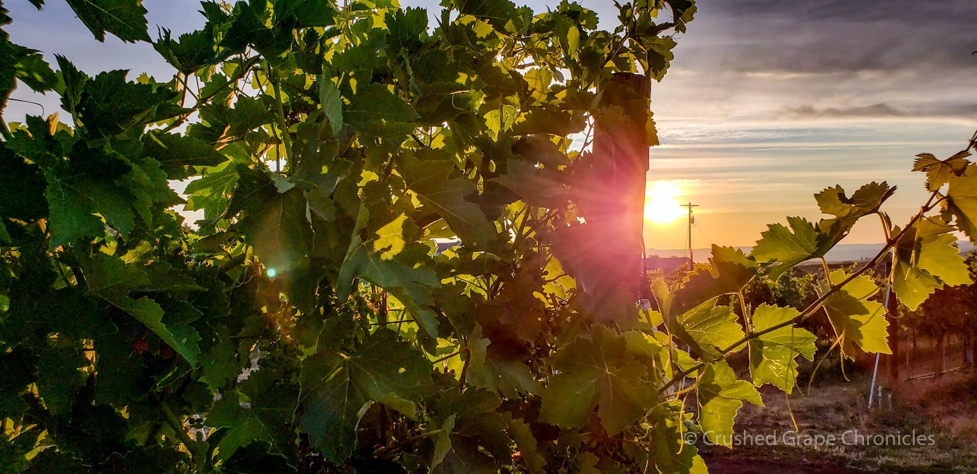 Sunrise with vines a Wilridge Vineyard in Washington's Naches Heights AVA
