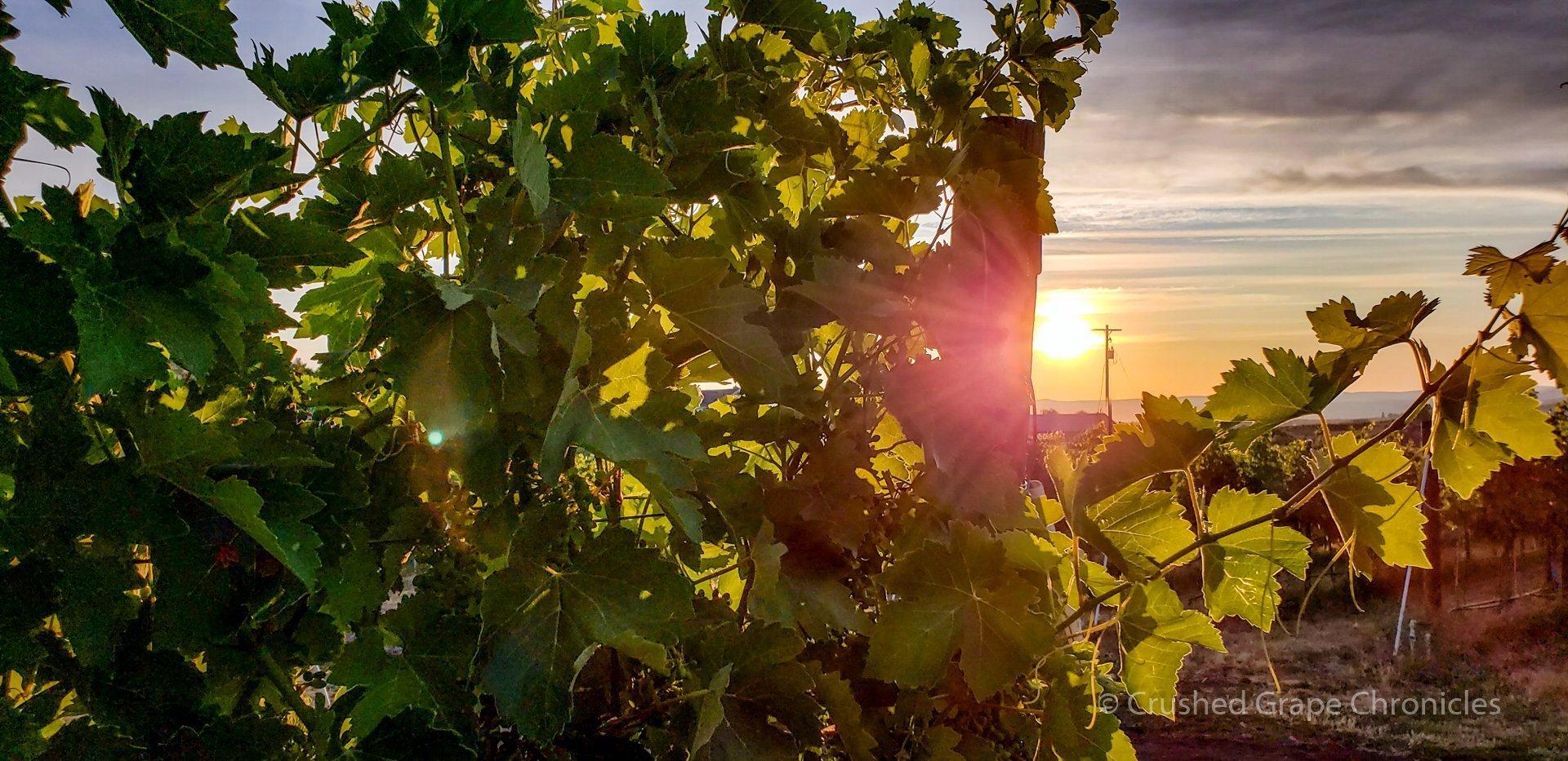 Sunrise with vines a Wilridge Vineyard in Washington's Naches Heights AVA