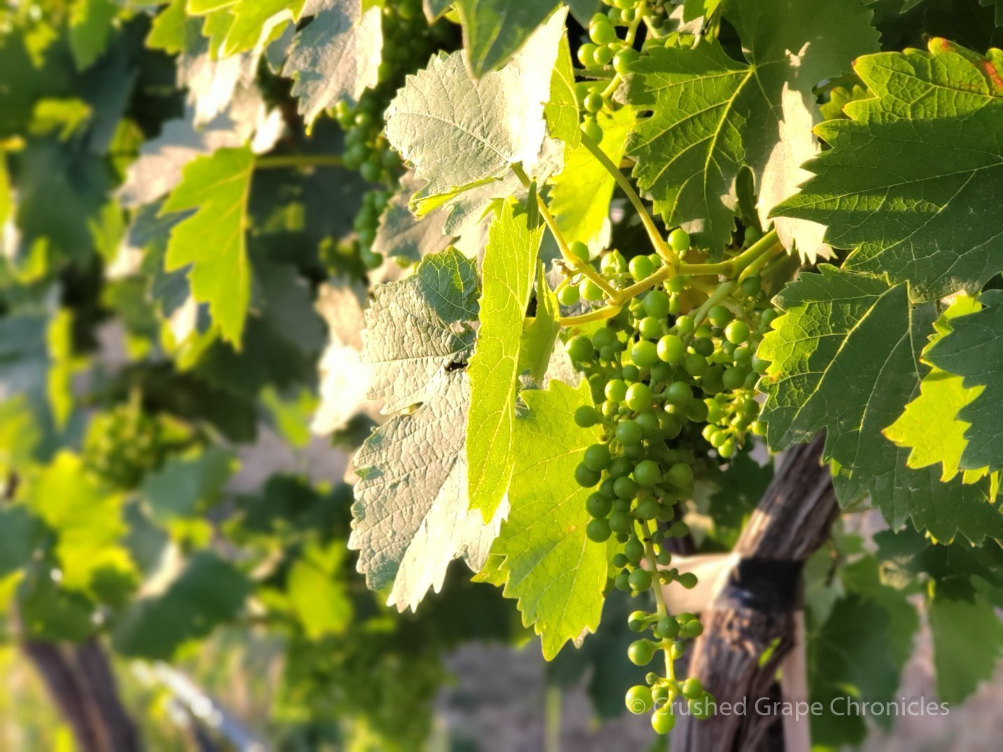 Grapes in the morning sun at Wilridge Vineyard in the Naches Heights AVA of Washington State