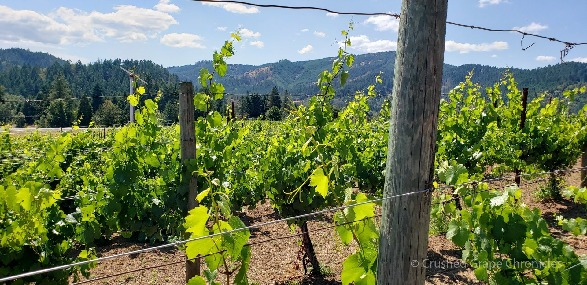Vines at Giraradet in the Umpqua Valley