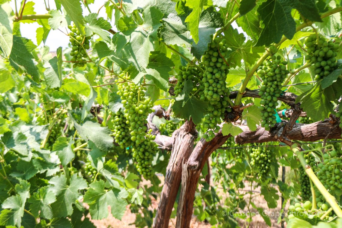Candy Ridge Vineyard Grapes for Washington Wine