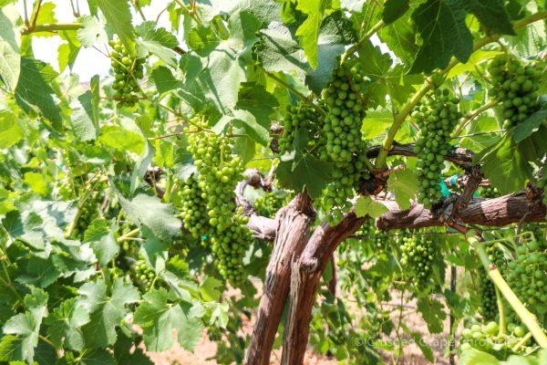 Candy Ridge Vineyard Grapes for Washington Wine