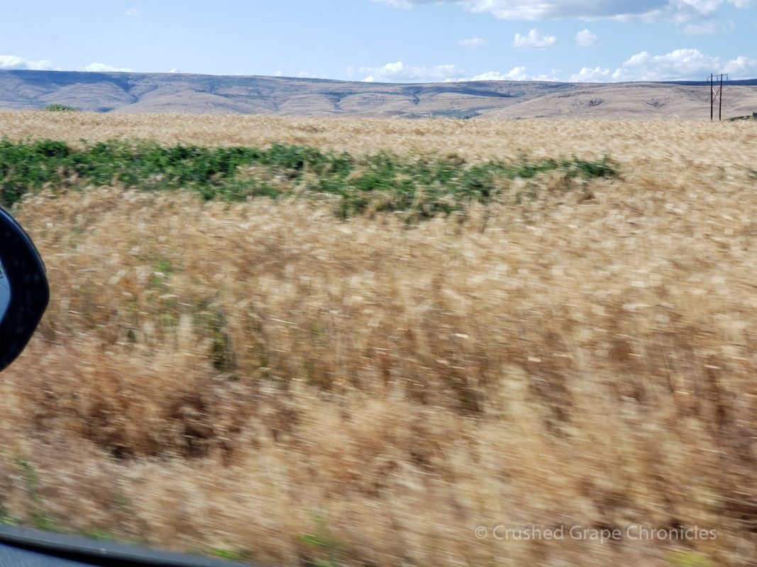 Fields of wheat in the Yakima Valley
